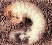 Chafer Grub/Larvae
