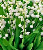 Shade Loving Plants. Lily Of The Valley - Convallaria majalis.