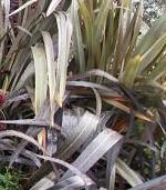Shade Loving Plants. New Zealand Flax - Phormium tenax.