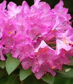 Shade Loving Plants. Rhododendrons.