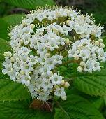 Shade Loving Plants. Viburnum.