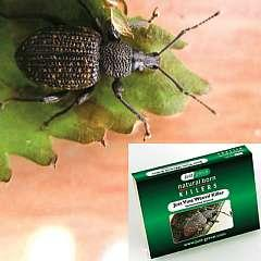 Natural Pest Control - Vine Weevil