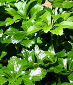 Shade Loving Plants - Japanese spurge - Pachysandra terminalis
