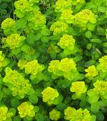 Shade Loving Plants - Euphorbia amygdaloides 'robbiae' - Wood Spurge