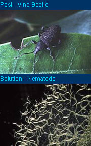 Biological Solution - Vine Weevil Killer