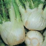 Grow your own herbs - Fennel - Foeniculum vulgare (Common Fennel)