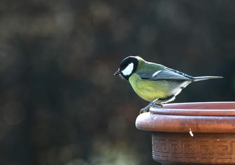 Great tit - Parus major (© Kodo34 | Dreamstime.com)