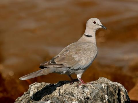 Collared dove - Streptopelia decaocto (© Borislav Borisov | Dreamstime.com)