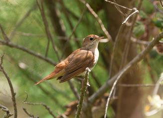 Nightingale - Luscinia megarhynchos (© Joan Egert | Dreamstime.com)