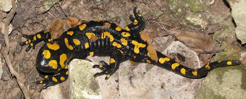 The Fire Salamander. Beautiful but venomous via skin toxins.