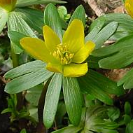 Winter Aconites - Eranthis