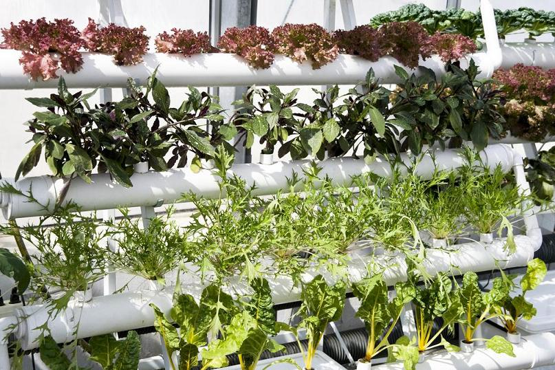 Vegetables being grown using hydroponics in greenhouses - © Can Stock Photo Inc. / yuyang