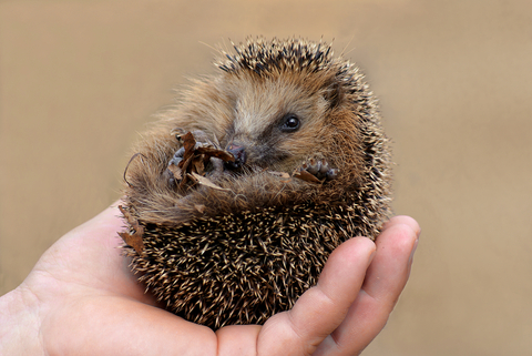 Little hedgehog on mans hand, looking at you with smile (© Paleka | Dreamstime.com)