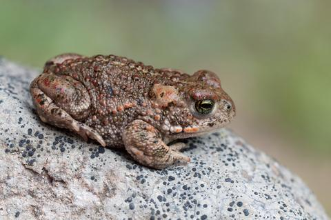 A Natterjack Toad sitting on a stone - © O2beat | Dreamstime.com