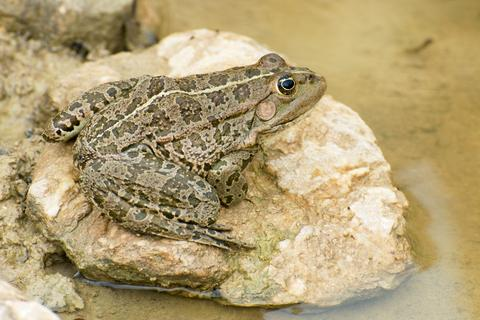 The frog Rana ridibunda sits on a stone in the pond - © Marcelkudla | Dreamstime.com