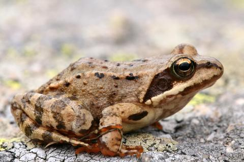 Closeup of brown frog Rana temporaria - © Tomas Valenta, Bm Association | Dreamstime.com