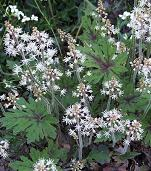 Shade Loving Plants. Tiarella - Foam flower.