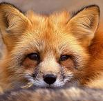 National Fox Welfare Society